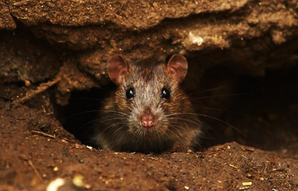 How to Prevent Rats From Coming to Your Home - 10 Most